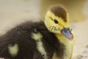 Baby Duck Close Up