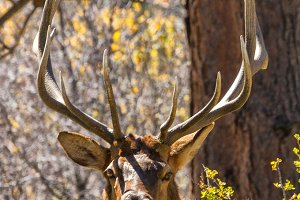 Bull Elk (Vertical-see full image)