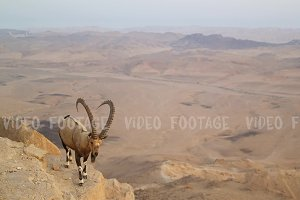 Wild mountain goat in the desert