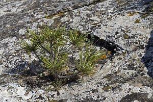 Tiny relict Crimean pine.