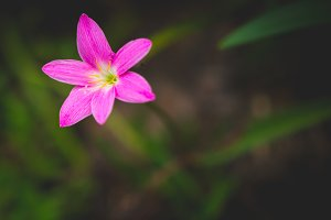 A Rain Lily