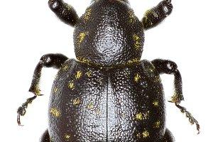 Snout Beetle Liparus