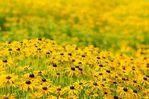Rudbekia flowers field