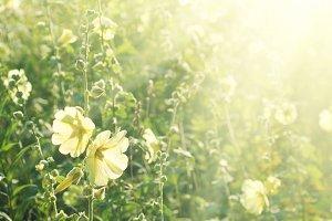 Yellow mallow flowers