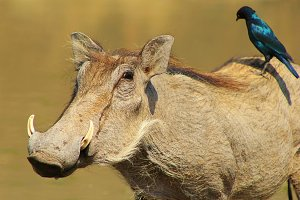Warthog and Starling Friends