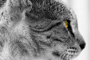 Cat head grey