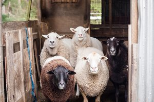 Five Sheep in a Shed