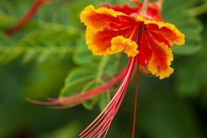 Orange Chinese Hibiscus Flower