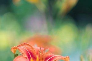 Lily in garden