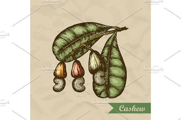 Cashew Branch With Leaves And Nuts Engraving Style Illustration Template For Your Design Vector Illustration