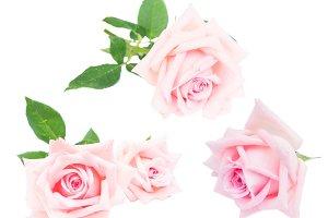 Pink blooming roses set