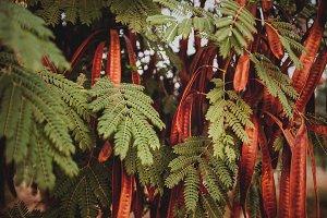 Legume tree