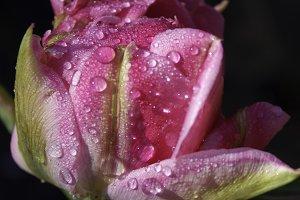 Pink tulip - after rain