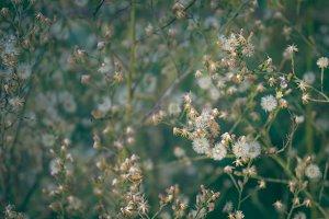 Dandelion Backdrop 2
