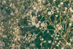 Dandelion Backdrop 1