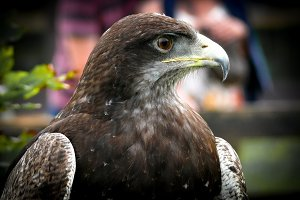 Black-chested buzzard-eagle portrait