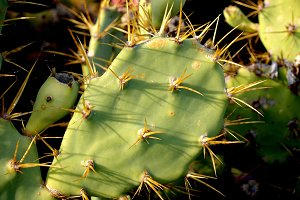 Prickly leaf with prongs