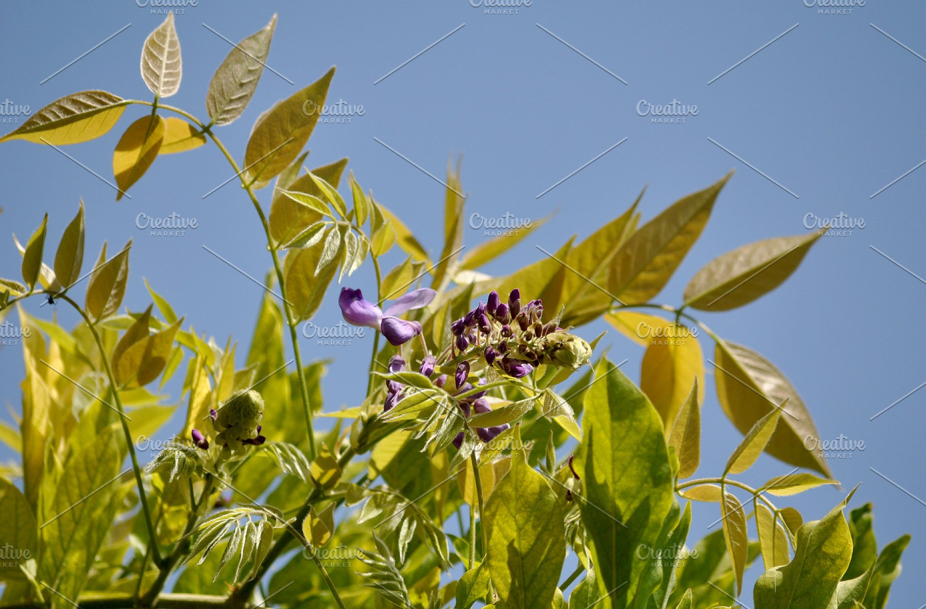 Wisteria Leaves And Blossom High Quality Nature Stock Photos