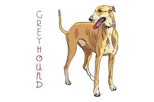 Vector Greyhound Dog breed