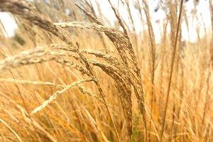 Brown Tall Dry Grass