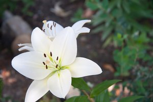 blooming white lily growing in the park