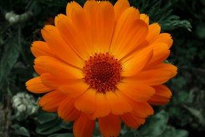 Orange Cape daisy or Dimorfoteca