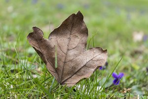 Autumn maple leaf on the green grass in the spring