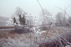 Frosted flowers