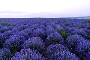 Purple flowers in a lavender field