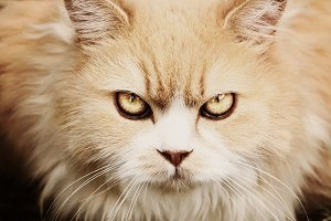 persian cat warning gaze close up portrait