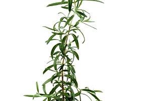 Fresh Rosemary in Pot