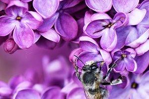 Macro liliac flower and a bee