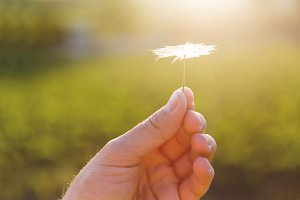 Hand with fragile dandelion seed