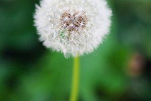 Dandelion flower stands in garden