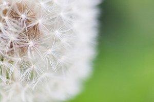 Macro catch of dandelion seeds