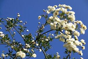 white kerria japonica full sun