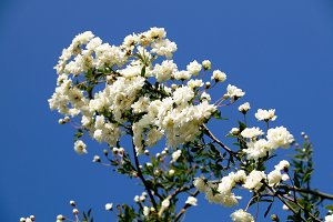 white kerria japonica