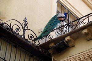 peacock on the balcony