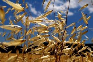Wild oats in full sun
