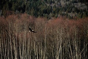 Eagle Soaring in across Tree Tops