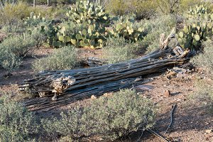 Dead cactus in Saguaro National Park West Tucson