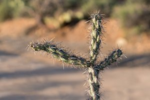 Three arms in close up on Cholla cactus