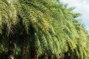 Row of palm tree