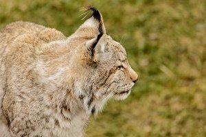Lynx 4