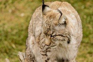 Lynx 5