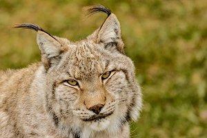 Lynx 8