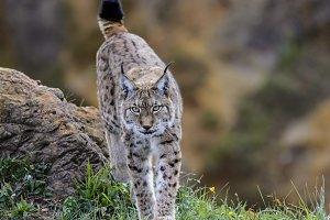 Hunting lynx 2