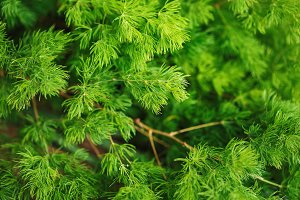 Coniferous nature background