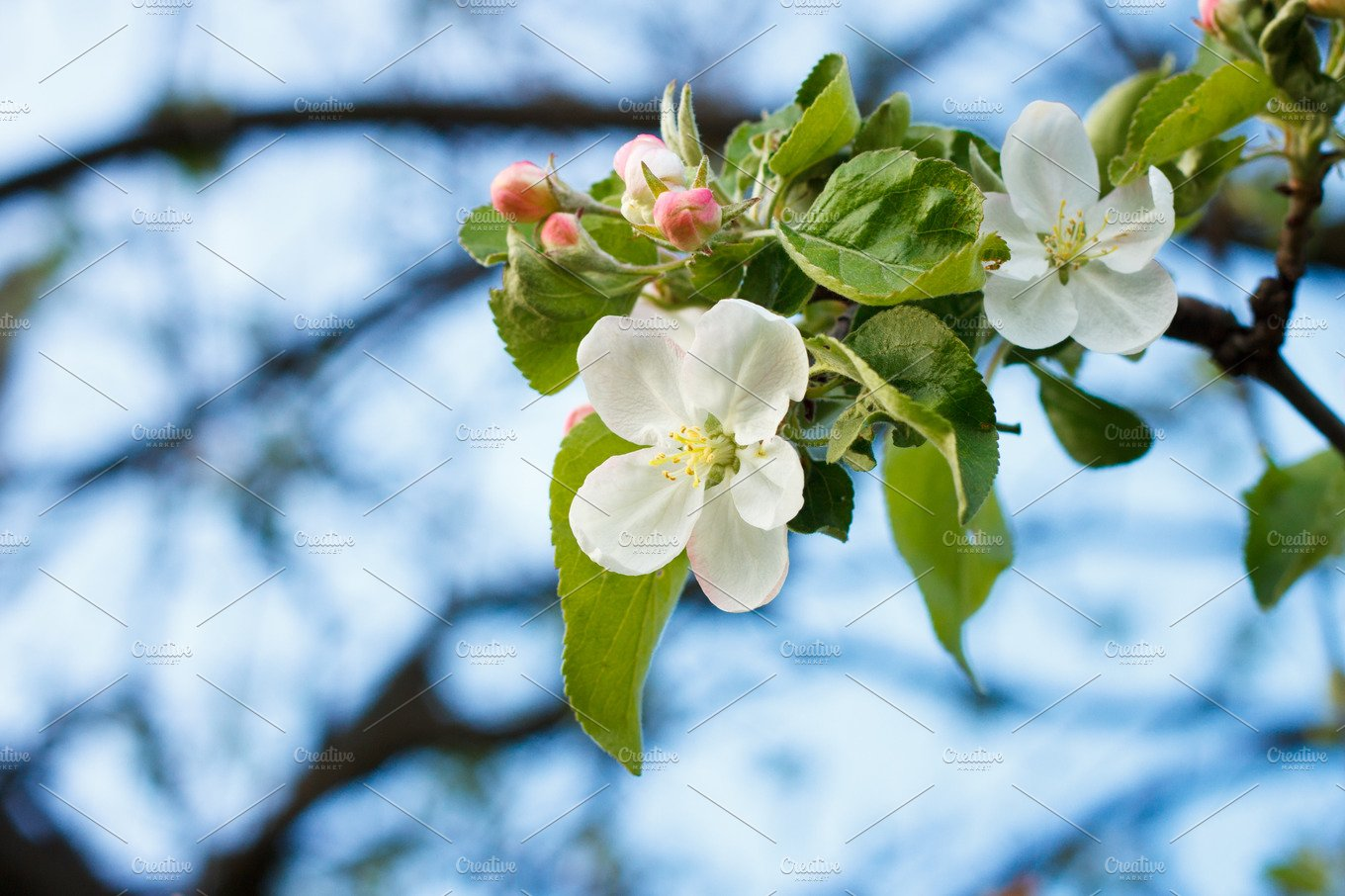 Blossoming Apple Tree Twig With White Flowers Nature Photos
