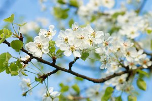 Blossoming pear tree twig with white flowers.